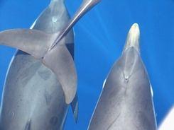 incontro con i delfini Stenelle