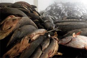 pesca indiscriminata al tonno- migliaia di tonni nella stiva di una nave