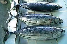tonnetti appena pescati